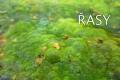 rasy-01