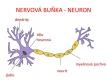 nervová soustava-1-04