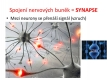 nervová soustava-1-05