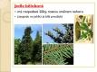 nahosemenné rostliny - 07