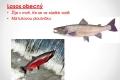 morske-ryby-09