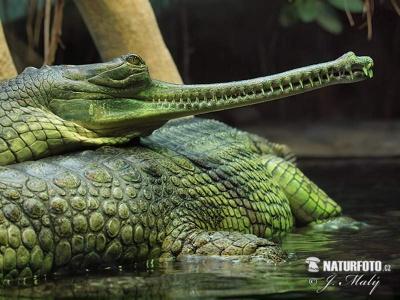 07-gavial-indicky