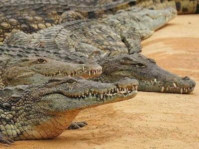 09-krokodyl nilsky