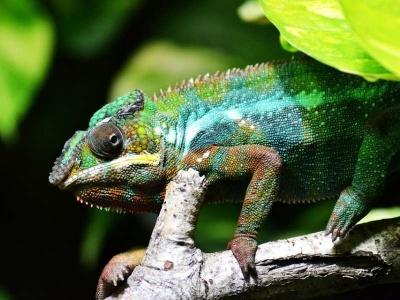 10-chameleon