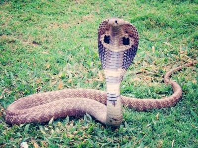 14-kobra
