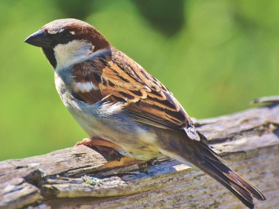 11-vrabec-domaci