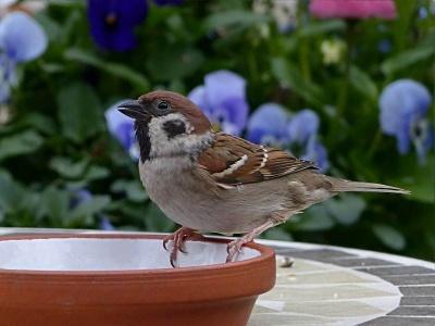 12-vrabec-polni