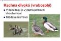ptáci vodní - 07