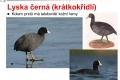 ptáci vodní - 10