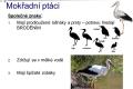 ptáci vodní - 12