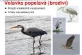 ptáci vodní - 13