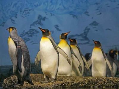 tucnak-patagonsky