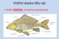 ryby-stavba-tela-08