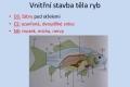 ryby-stavba-tela-12