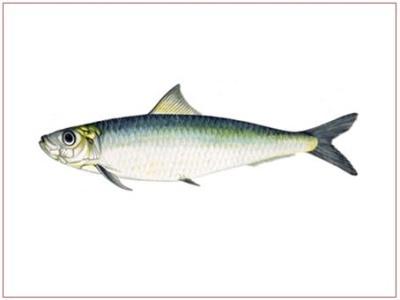 sardinka